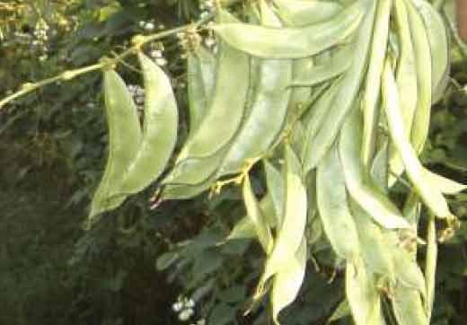 JK 1: Improved Variety of Indian Bean(Dolichos lablab) | National