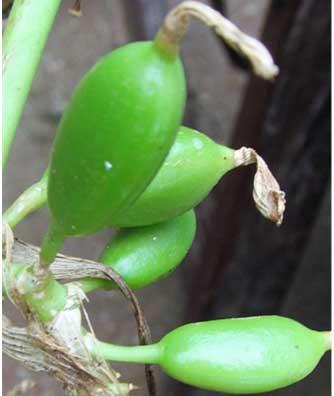 Pachaikkai - Improved Cardamom Variety by a Grassroots
